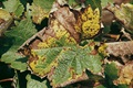 Symptoms of damage of powdery mildew
