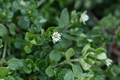Flowering common chickweed