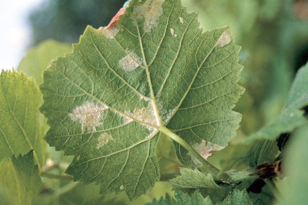 Symptoms of downey mildew on a grape leaf
