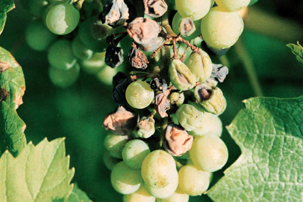 Downey mildew on grapes