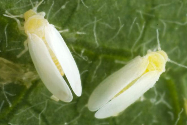 Various development stages of tobacco whitefly