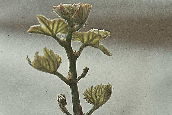 Grapevine damaged by the grape leaf rust mite