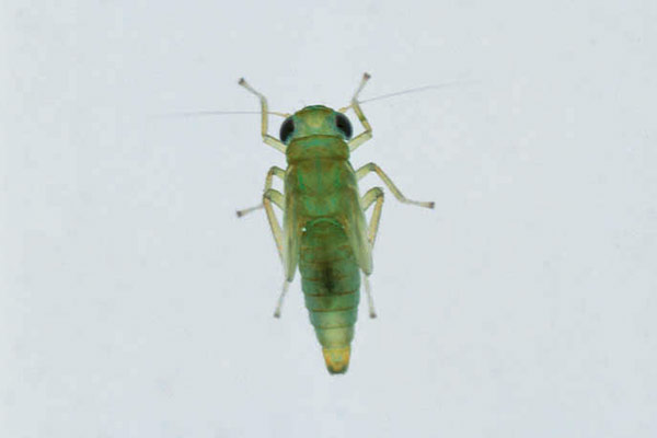 Nymph of Empoasca fabae