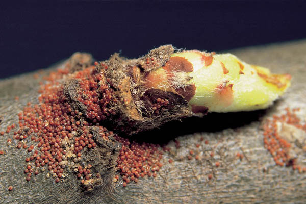 Egg mass of the European red mite on a fruit tree