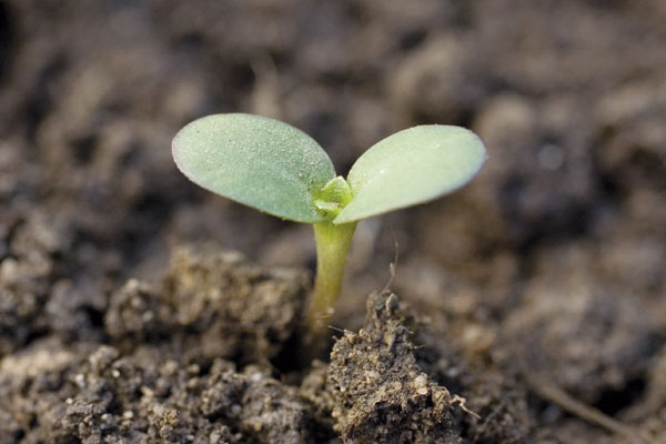 Cotyledon stage of sunflower