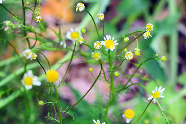 Flowering scentless false mayweed