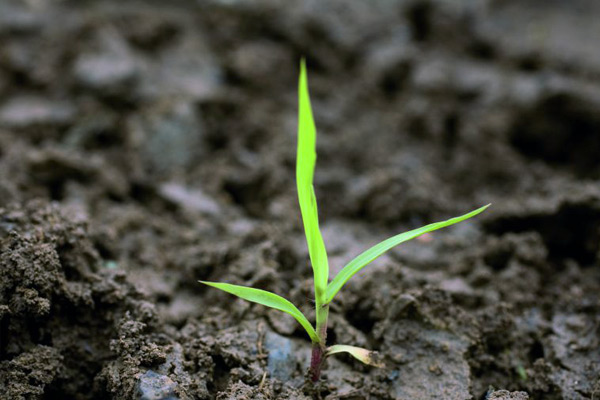 Young green bristle grass plant