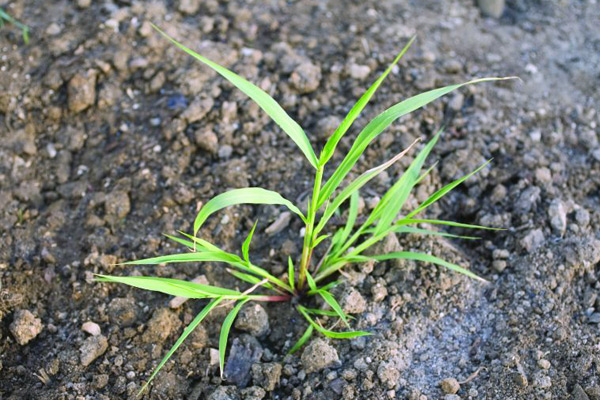 Green bristle grass
