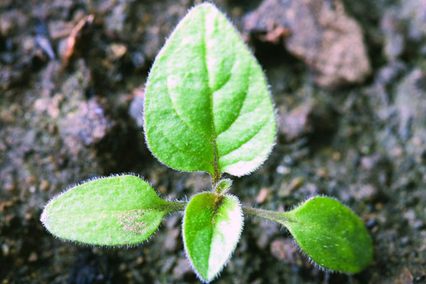 Young black nightshade plant